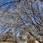 Spring in Canberra